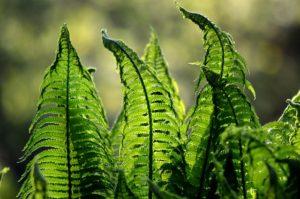 Örökzöld növények